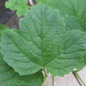 Photographie n°72504 du taxon Viburnum opulus L. [1753]