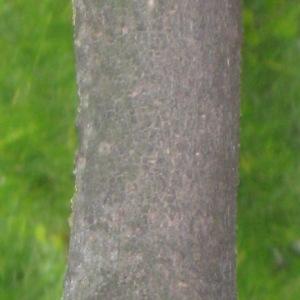 Photographie n°72512 du taxon Viburnum opulus L. [1753]