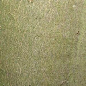 Photographie n°72564 du taxon Acer pseudoplatanus L.