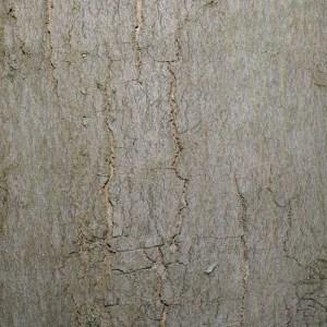 Photographie n°72565 du taxon Acer pseudoplatanus L.