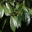 Jean-Luc Gorremans - Prunus laurocerasus L.
