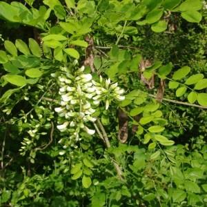 Photographie n°72569 du taxon Robinia pseudoacacia L.