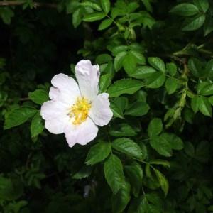 Photographie n°72570 du taxon Rosa canina L. [1753]
