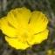 Paul Fabre - Ranunculus gramineus L. [1753]