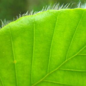 Photographie n°72645 du taxon Fagus sylvatica L.