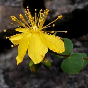 Photographie n°72655 du taxon Hypericum nummularium L. [1753]