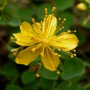 Hypericum nummularium L. [1753] (Millepertuis à feuilles rondes)