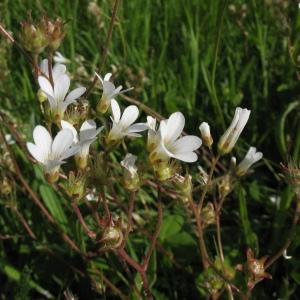 Photographie n°72703 du taxon Saxifraga granulata L.