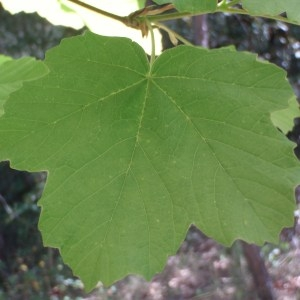 Photographie n°72710 du taxon Acer opalus Mill.