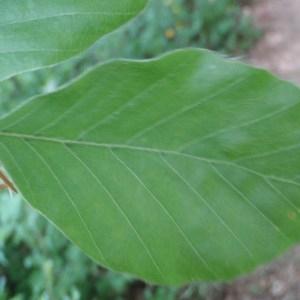 Photographie n°72720 du taxon Fagus sylvatica L.