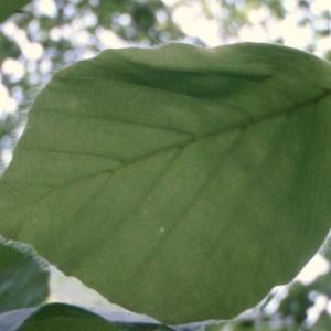 Photographie n°72721 du taxon Fagus sylvatica L.