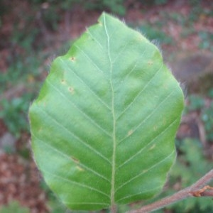 Photographie n°72723 du taxon Fagus sylvatica L.