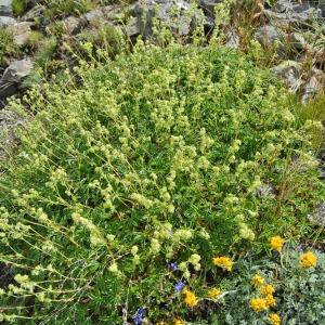 Photographie n°72741 du taxon Alchemilla alpina L.