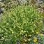 Jean-Claude Ernewein - Alchemilla alpina L.