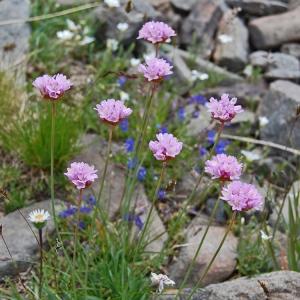 Photographie n°72747 du taxon Armeria alpina Willd. [1809]