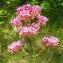 Liliane Roubaudi - Centranthus ruber (L.) DC.