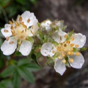 Photographie n°72824 du taxon Potentilla alchemilloides Lapeyr. [1782]