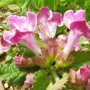 Photographie n°72899 du taxon Melittis melissophyllum L. [1753]