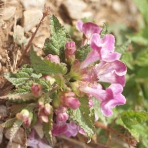 Photographie n°72900 du taxon Melittis melissophyllum L. [1753]