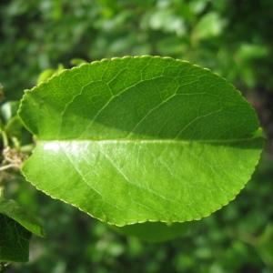 Photographie n°72951 du taxon Prunus mahaleb L.