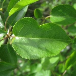 Photographie n°72953 du taxon Prunus mahaleb L.