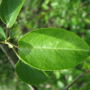 Photographie n°72954 du taxon Prunus mahaleb L.