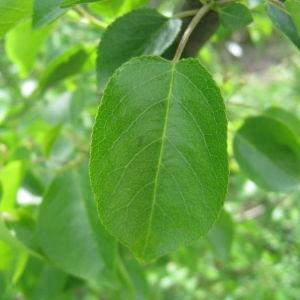 Photographie n°72955 du taxon Prunus mahaleb L.