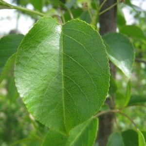 Photographie n°72957 du taxon Prunus mahaleb L.