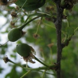 Photographie n°72961 du taxon Prunus mahaleb L.