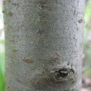 Photographie n°72965 du taxon Prunus mahaleb L.