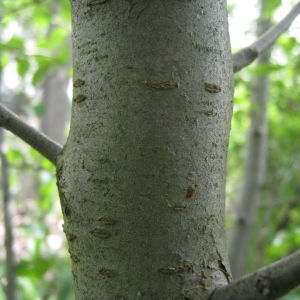 Photographie n°72966 du taxon Prunus mahaleb L.