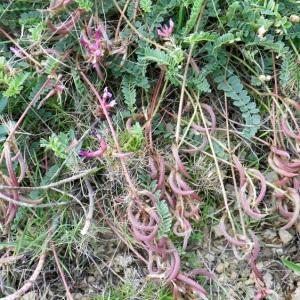 Photographie n°73006 du taxon Astragalus monspessulanus L.
