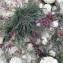 Liliane Roubaudi - Astragalus monspessulanus L.