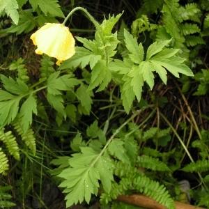 Photographie n°73022 du taxon Meconopsis cambrica (L.) Vig. [1814]
