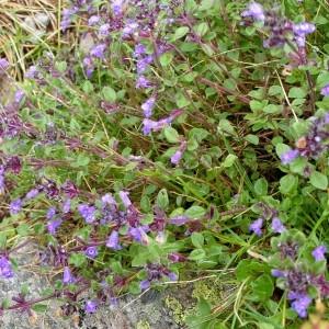 - Acinos alpinus subsp. pyrenaeus (Braun-Blanq.) Laínz [1976]