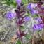 Alain Bigou - Acinos alpinus subsp. pyrenaeus (Braun-Blanq.) Laínz [1976]