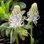 Alain Bigou - Phyteuma pyrenaicum R.Schulz [1904]