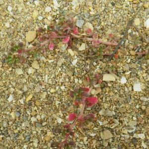 Photographie n°73053 du taxon Frankenia pulverulenta L.