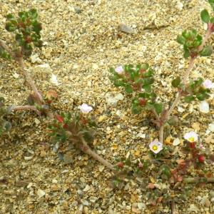 Photographie n°73055 du taxon Frankenia pulverulenta L.