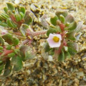 Photographie n°73056 du taxon Frankenia pulverulenta L.