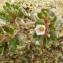 Liliane Roubaudi - Frankenia pulverulenta L.