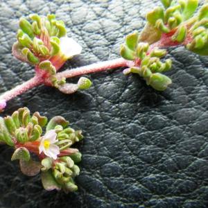 Photographie n°73058 du taxon Frankenia pulverulenta L.
