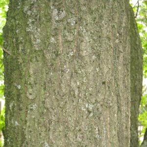 Photographie n°73142 du taxon Quercus robur L. [1753]