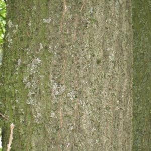 Photographie n°73143 du taxon Quercus robur L. [1753]