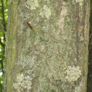 Photographie n°73144 du taxon Quercus robur L. [1753]