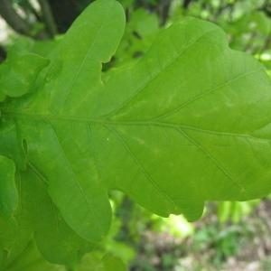 Photographie n°73148 du taxon Quercus robur L. [1753]