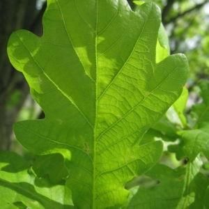Photographie n°73151 du taxon Quercus robur L. [1753]