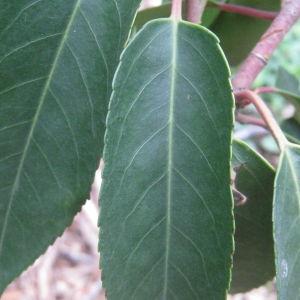 Photographie n°73194 du taxon Prunus lusitanica L. [1753]