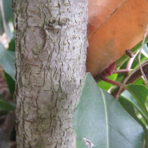 Photographie n°73204 du taxon Prunus lusitanica L. [1753]