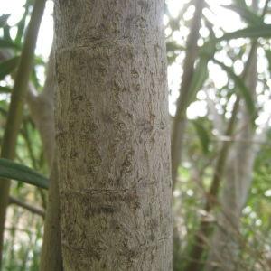 Photographie n°73291 du taxon Nerium oleander L. [1753]